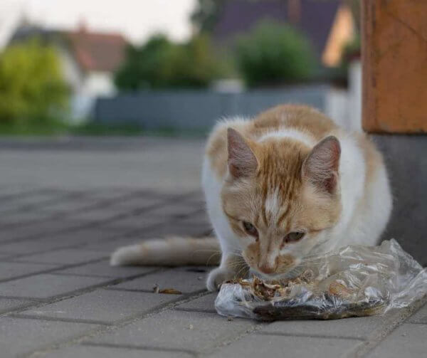 cat_eating_chicken_bones_from_plastic_bag.jpeg