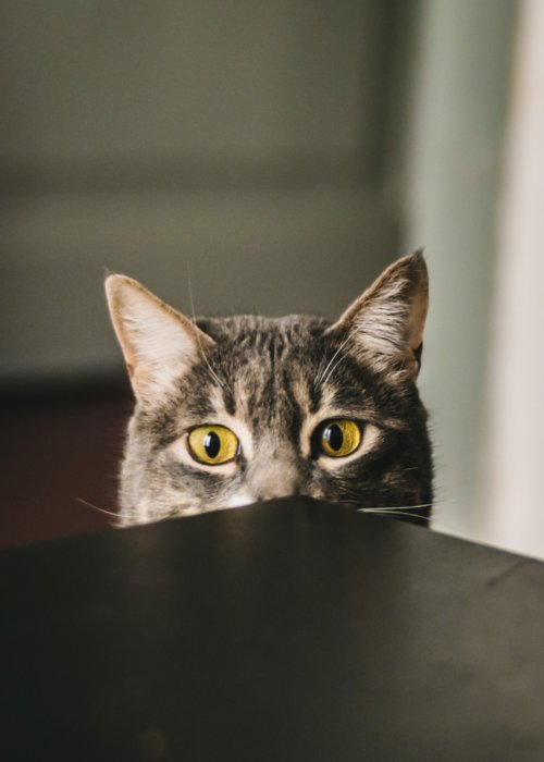 cat_behind_table.jpeg