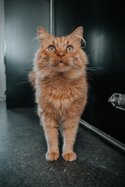 orange_cat_standing.jpeg