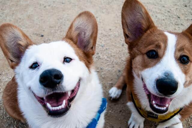 two_corgies.jpeg